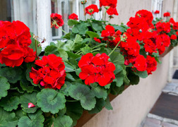 BEAUTY-Red-Geranium-Windowbox-SS-331920140-560x400.jpg